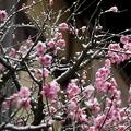 雪を抱いた梅の花。2〜3月は、冬と春の空気が入れ替わりながら、少しずつ季節が進んでいく(2020年2月、京都市東山区)