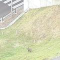 野生とみられるイノシシが東京・荒川河川敷に出現 区役所職員が捕獲へ