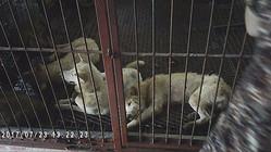 """韓国の犬肉食堂で""""ストック""""される食用犬(映画『アジア犬肉紀行』http://www.adg-theater.com/asiandogs/ より)"""