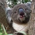 大阪府内で唯一飼育されているコアラがイギリスへ 戻ってこない可能性