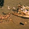 深海に沈んだワニの死体を貪る「ゾンビワーム」の新種発見
