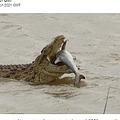 サメを頭から丸呑みにするナイルワニ(画像は『LADbible 2021年3月26日付「Photographer Captures Moment Huge 1,500lb Crocodile Eats Shark」』のスクリーンショット)