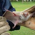 エクアドルとの国境に近いペルーのコンドルカンキで捕獲されたコウモリ。ペルー保健省提供(2010年8月3日撮影、資料写真)。(c)HO / MINSA / AFP