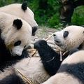 中国・四川省の成都ジャイアントパンダ繁殖研究基地のジャイアントパンダ(2016年9月9日撮影、資料写真)。(c)WANG ZHAO / AFP