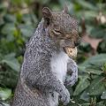 米ニューヨークのセントラルパークの草むらでピーナツをくわえるリス(2019年4月11日撮影、資料写真)。(c) Johannes EISELE / AFP