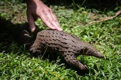 ウガンダで保護団体により飼育・保護されているサンゼンコウ(パンゴリン)、参考写真(GettyImages)