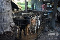 カンボジア・シエムレアプ州の食肉処理場で従業員が湯を沸かす中、外を見つめる犬(2019年10月25日撮影)。(c)TANG CHHIN Sothy / AFP