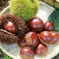 栗は英語で「chestnut」意外と知らない食べ物の英語名