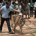タイ西部の「タイガーテンプル」で、トラに埋め込まれたマイクロチップをスキャンする当局者(2015年4月24日撮影、資料写真)。(c)Nicolas ASFOURI / AFP