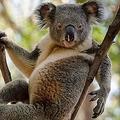豪動物園のコアラ セクシーすぎる佇まいが注目集める