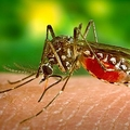 蚊を撲滅する実験失敗 逆に強化?