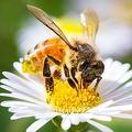 ミツバチにコロナの匂いを覚えさせて陽性サンプル検出 新たな方法を開発
