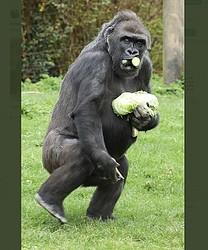英動物園で撮影されたゴリラ(画像は『Miriam Haas 2020年3月22日付Twitter「Kera stockpiling her vegetables as a response to #coronvirusuk」』のスクリーンショット)