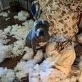 ソファーの中身が散乱する部屋で満足そうな顔を見せた犬(画像は『Metro 2021年5月6日付「Dog left home alone smashes through a door and destr oys a sofa」(Picture: Vickie Shelton / Caters News)』のスクリーンショット)