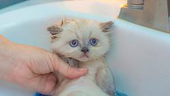 長毛種以外の猫は基本的にシャンプーの必要はない(Ph:Getty Images)