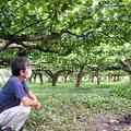 約500個の梨が盗まれ、実のない木を見渡す大畠さん=2020年9月16日、埼玉県神川町中新里、黒田早織撮影