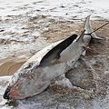 なにが原因か?米で2017年年末からサメが凍るほどの大寒波が発生