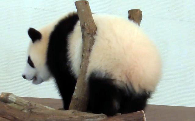 [画像] 挟まっちゃった? 夢中で遊ぶ子パンダがモフモフで可愛い