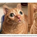 目がまんまるのネコ(画像は『Fox News 2019年11月14日付「Cat's odd googly-eyed look earns it Instagram stardom」(Caters News Agency)』のスクリーンショット)