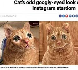 目がまんまるのネコ(画像は『Fox News 2019年11月14日付「Cat's odd googly-eyed look earns it Instagram stardom」(Caters News Agency)』のスクリーンショット)