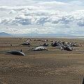 アイスランド北西部スナイフェルスネス半島の浜辺に打ち上げられたクジラの死骸。レイキャビク・ヘリコプターズ提供(2019年7月18日撮影)。(c)AFP=時事/AFPBB News