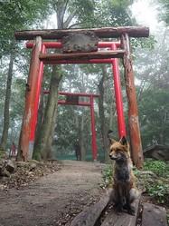 「神の使いか…」霧の中、鳥居の前にたたずむキツネさんの姿が神秘的