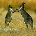 外国メディアの報道によると、オーストラリアでは野生カンガルーの頭数増加が、環境の持続可能な発展に影響を与えていることから、一部の土地所有者や生態学者から、カンガルーを食用にすることを検討すべきとの声が上がっている。