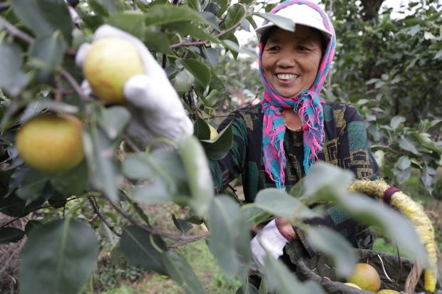 ナシが豊作、収穫期迎える 遼寧省海城市
