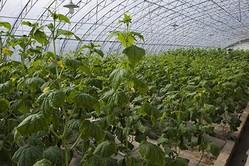 中国山東省にある野菜栽培のためのビニールハウス(大紀元資料室)