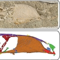 中生代に生息した新種の鳥「Falcatakely」の化石(上)と高分解能マイクロトモグラフィーの画像。米オハイオ大学提供(2020年11月10日撮影、同25日公開)。(c)AFP PHOTO / OHIO UNIVERSITY / BEN SIEGEL