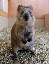 ついに日本にやってきた「世界一幸せな動物」クオッカの愛くるしい素顔