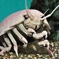 謎の生物ダイオウグソクムシ 2年ぶりの「お通じ」を水族館が確認