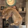 抱っこするのも大変な9キロのウサギ(画像は『Cocoa Puff the Giant Rabbit 2020年3月26付Instagram「Cocoa Puff - 18.5lbs - 2.5 years old - Breed: Continental Giant 」』のスクリーンショット)