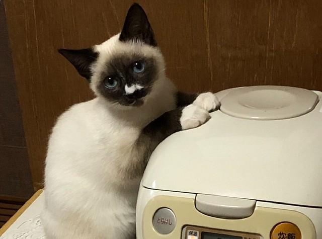 「ダメ?」炊飯器で暖を取る猫