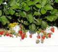 加工用イチゴの新品種「夢つづき2号」育成成功 アヲハタ