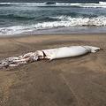 海岸で拾ったダイオウイカを食べた人物のレポートが話題!※イカニッコさん提供
