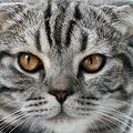 猫の表情が品種改良を経て乏しくなったとの研究 しかめ面を好む傾向?