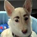 立派な「眉毛」持つ犬を保護 露