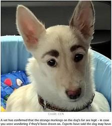 """""""いたずら""""と思われたほど眉毛のような模様を持つ犬(画像は『LADbible 2019年11月15日付「Dog With Human-Like Eyebrows Becomes Viral Hit」(Credit: CEN)』のスクリーンショット)"""