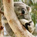 コアラが愛されるのは「赤ちゃんに似ている」から 共通箇所は?