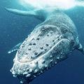 「クジラの歌」で地震や地下の断層を調査が可能 アメリカの研究