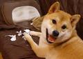 国勢調査を「やっつけた」犬に労いの声が多数 「一仕事したあとの顔だ」