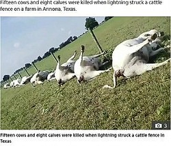 雷に打たれ一列に並んで死んだ牛(画像は『The Sun 2019年9月13日付「BLAST FROM THE PASTURE Eerie video of 23 cows dead in a line after they were struck by lightning is like a scene from Stranger Things」』のスクリーンショット)