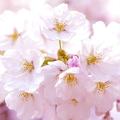 桜は軍国主義の象徴?