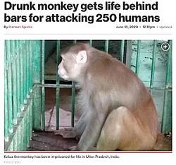 狭い檻で一生を過ごすことになったアルコール依存症の猿(画像は『New York Post 2020年6月18日付「Drunk monkey gets life behind bars for attacking 250 humans」(Kanpur Zoo)』のスクリーンショット)