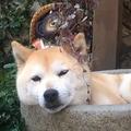 石臼に入ってまどろむ柴犬の動画が話題 「いやもうかわいい」