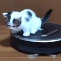 マンチカンの豆大福ちゃんが華麗にルンバを乗りこなす!(画像提供:ひのき猫 @nekohinoki)