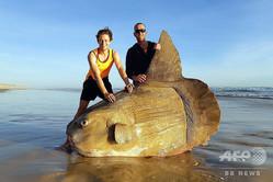 豪サウスオーストラリア州クーロンで、浜辺に打ち上げられたマンボウの死骸。リネット・グルゼラックさん提供(2019年3月16日撮影、21日提供)。(c)AFP=時事/AFPBB News