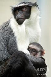 絶滅の危険性がより高まったと指摘されたロロウェイモンキー。レッドリスト最新版ではカテゴリーが引き上げられた(2012年8月2日撮影、資料写真)。(c)SEBASTIEN BOZON / AFP