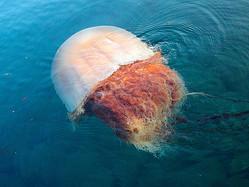 湾内を泳ぐエチゼンクラゲ=2020年8月26日午前6時38分、島根県隠岐の島町卯敷、野津大さん撮影